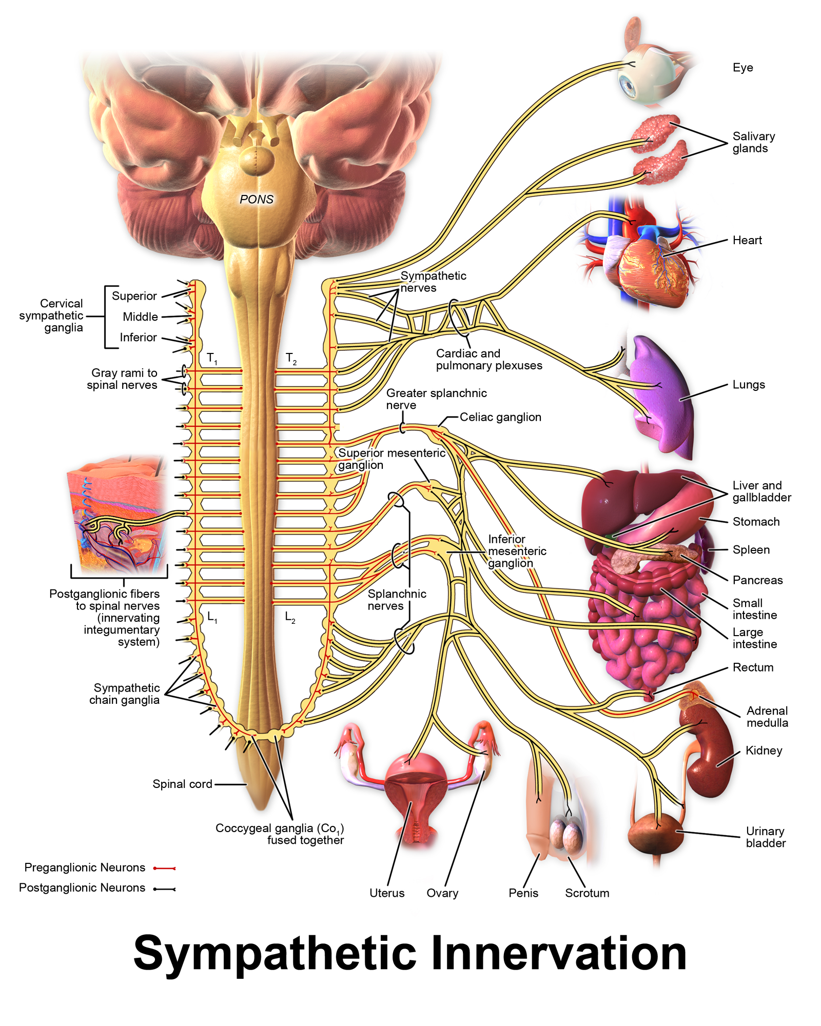 Anatomy of the ANS