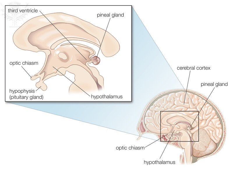 epithalamus diagram - photo #11