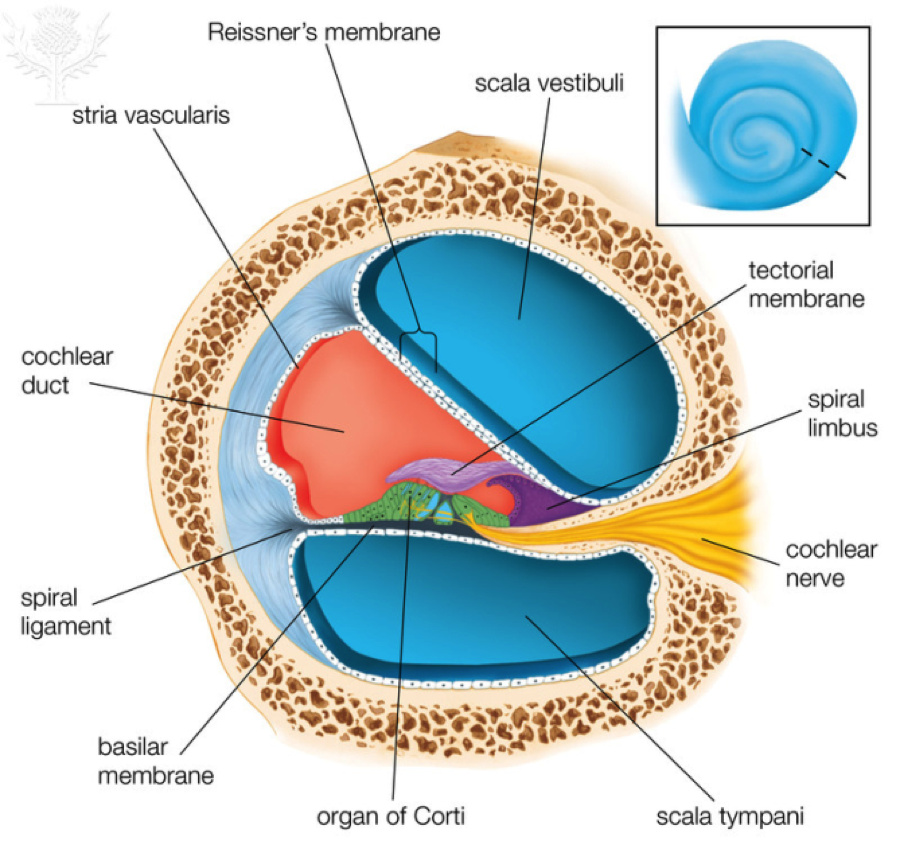 a diagram of a cochlea spiral organ region of answers to this module cochlea diagram