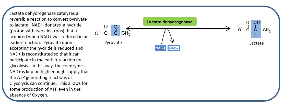 a description of the lactate dehydrogenase catalase reduction of pyruvate Description: recombinant d-lactate dehydrogenase (ec 11128) is purified from a modified e coli strain d-lactate dehydrogenase is an enzyme that catalyzes specifically the reduction of d(+) lactate to pyruvate with concomitant oxidation of nad + to nadh.